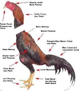 Ciri Ayam bangkok Petarung