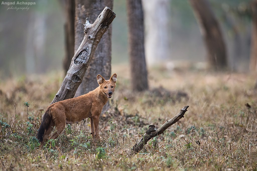 Dhole, indian wild dog, wild dog, canid, carnivore,  Bandipur, Bandipur National Park, Karnataka, India, Wildlife Photography, Indian Wildlife, top indian wildlife photographers, top indian photographers, top indian bird photographer