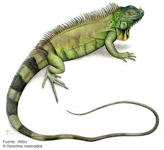 Iguana verde Iguana iguana