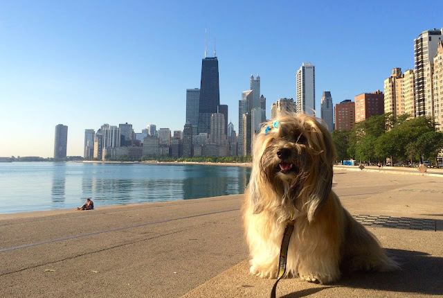 Rocco Havanese at Lake Michigan Chicago  Lakefront