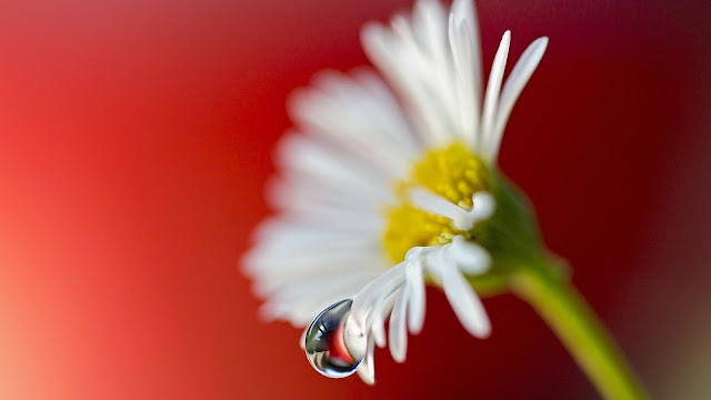 Daisy Flower Water Drop Close-Up HD Wallpaper