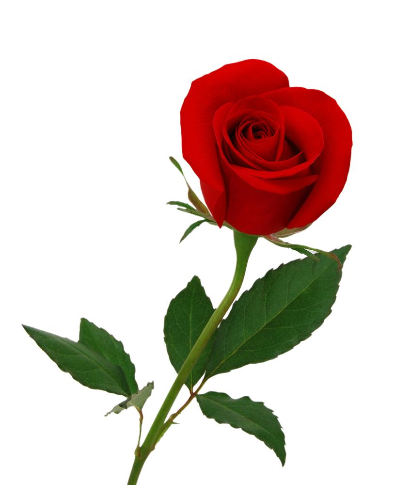 """Una rosa para mi madre, para """"Gorrión""""."""
