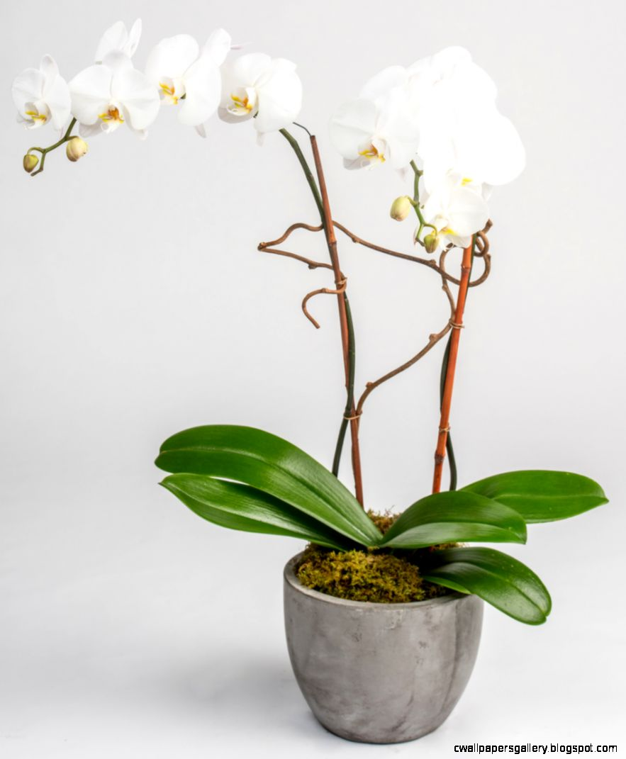 White Orchid Plant Delivery Philadelphia PA Same Day Office Delivery