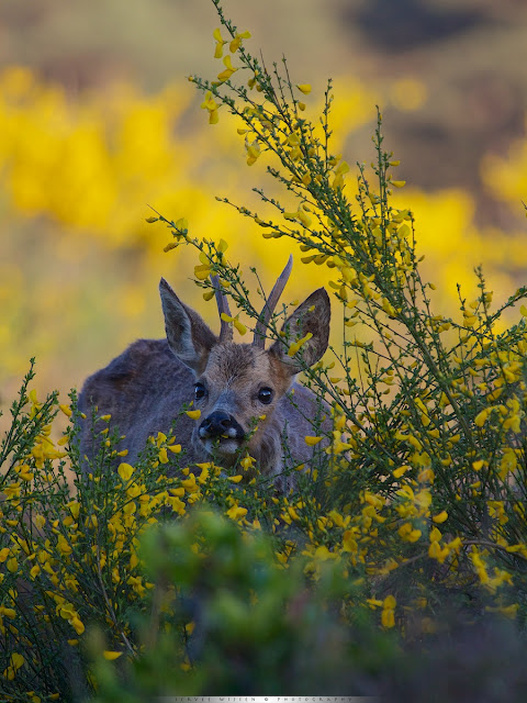 Ree in geel bloeiende Brem - Roe Deer in yellow flowering Broom - Capreolus capreolus
