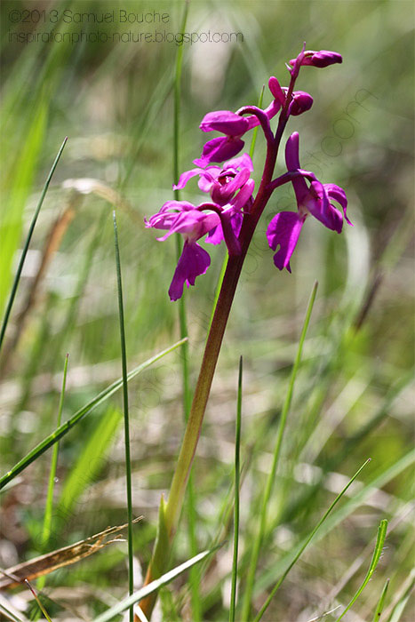 orchidee sauvage rose