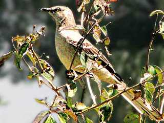 a mockingbird in a bush