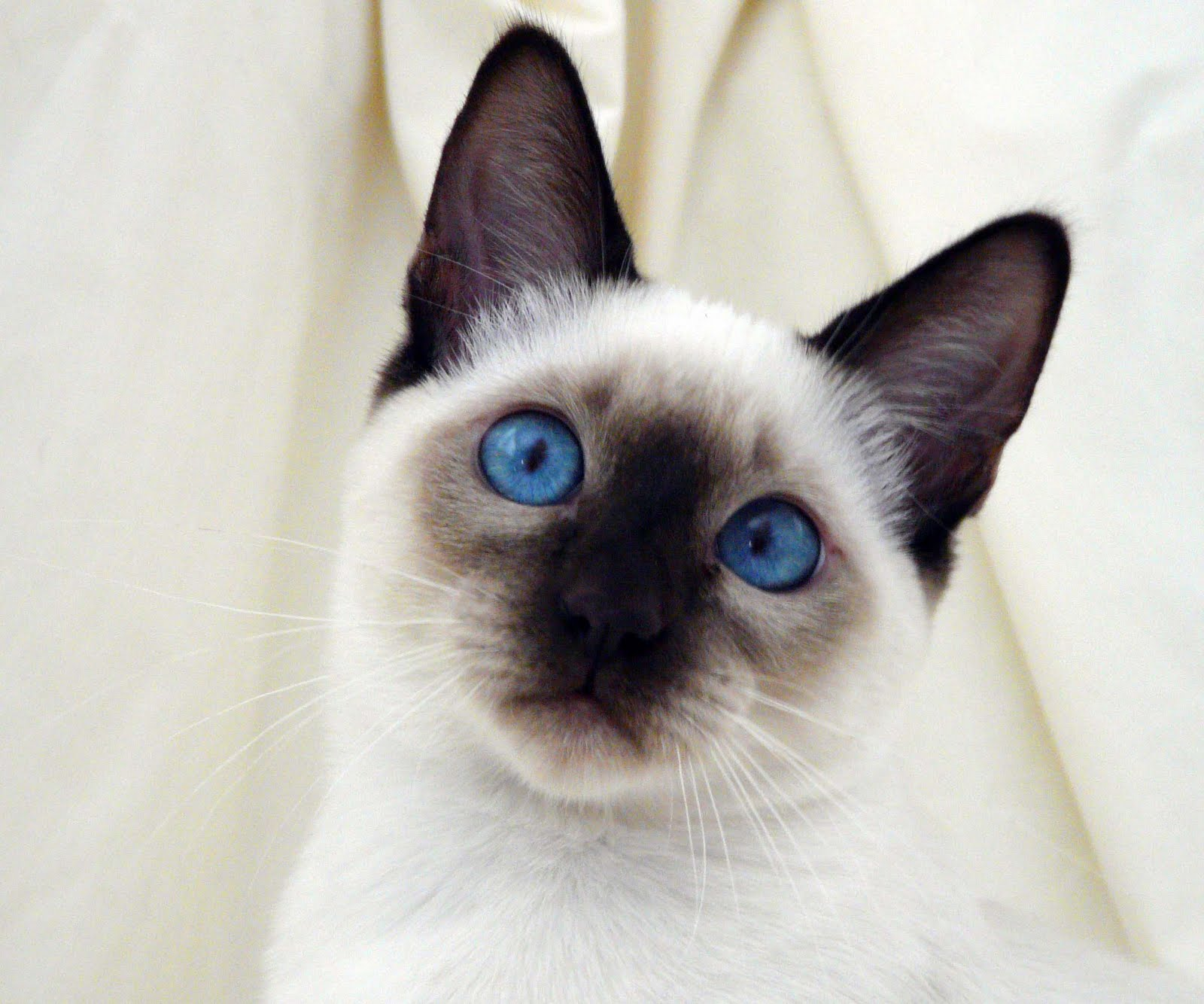 Seal Point Siamese Cats Wallpaper Download