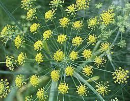 beberapa khasiat dari tanaman adas yang perlu anda ketahui