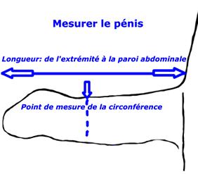 Comment le pénis est mesuré