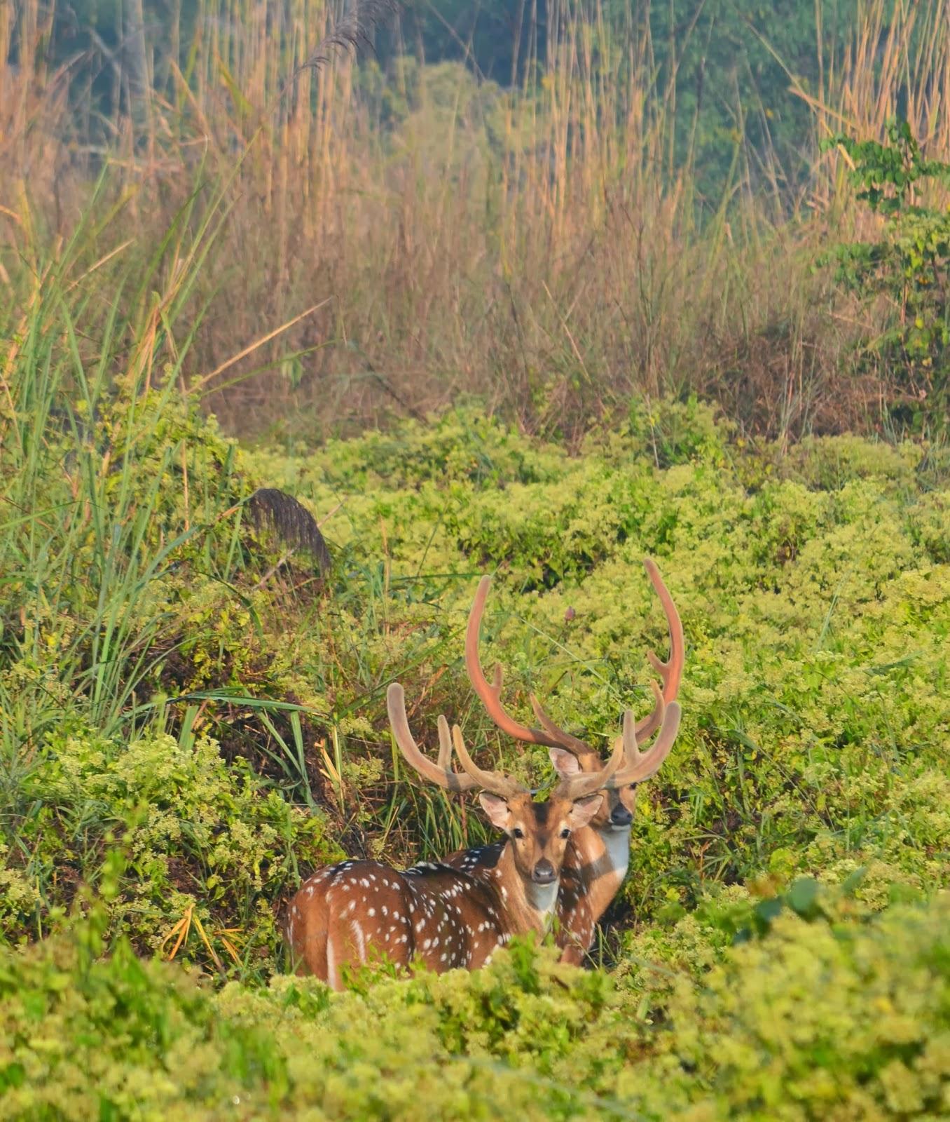 deer chitwan nepal