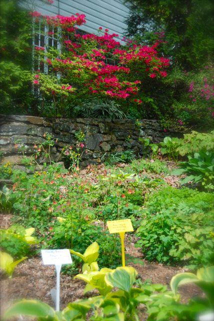 Pretty view to the house which is dotted with chartreuse in the hostas and red in the wild columbine (Aquilegia canadensis) and the azalea.
