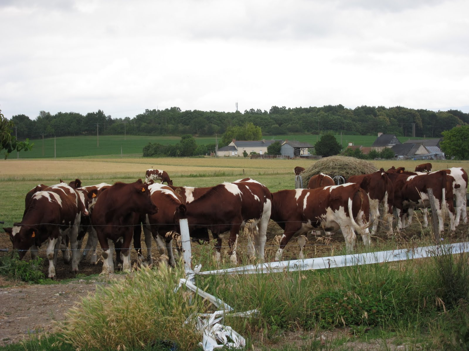 cattle farming Cattle—colloquially cows—are the most common type of large domesticated ungulates they are a prominent modern member of the subfamily bovinae, are the most.