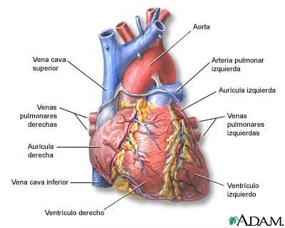 El Corazón.   Sistema Circulatorio en Vertebrados.