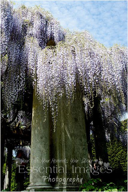 Fabulous wisteria was like a waterfall