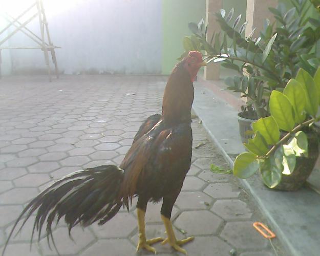 Gambar Ayam Bangkok http://kuncirmanyonk.blogspot.com/2012/05/galery ...