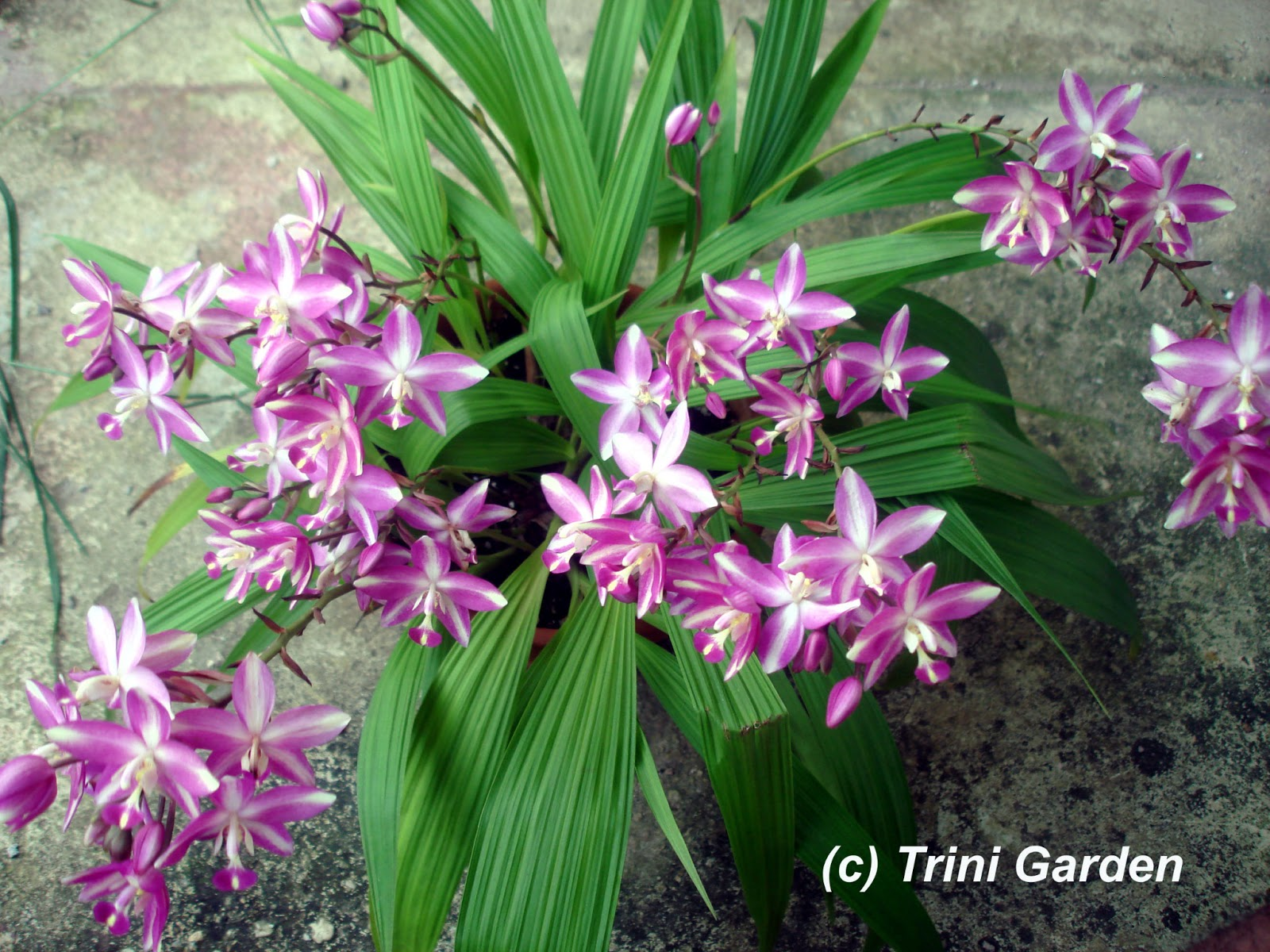 Trini Garden Purple And White Spathoglottis