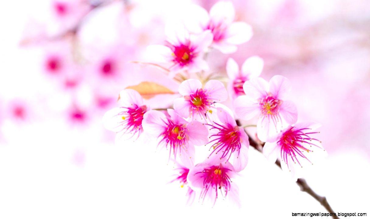 cute cherry blossom wallpaper desktop | amazing wallpapers