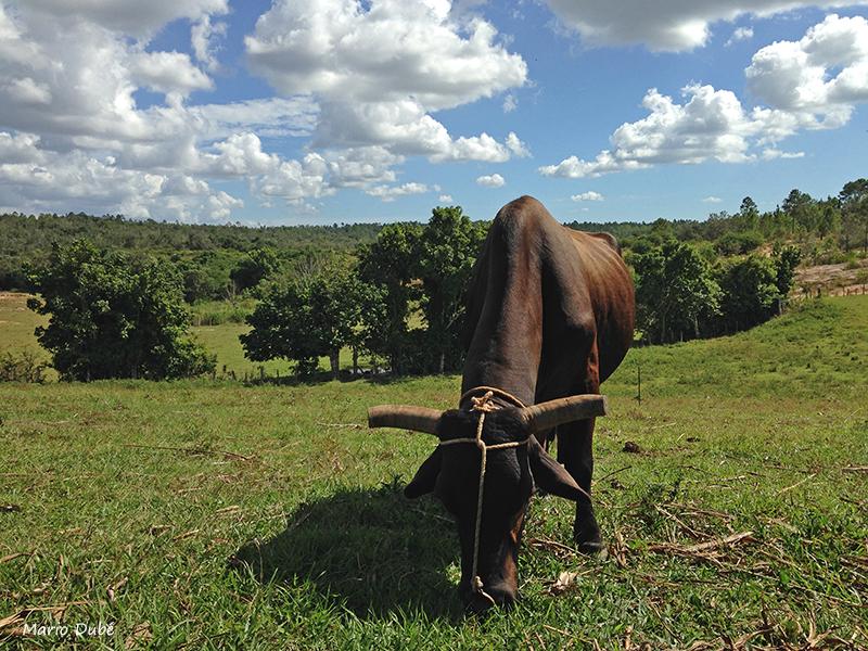 Vache dans la vallée de Viñales