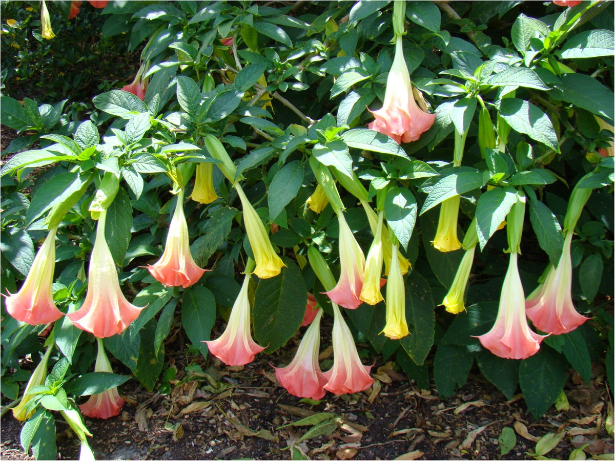 angel trumpets or brugmansia Group: flowers angel's trumpet brugmansia 2 angel's trumpet brugmansia  3 odor profile: a very fragrant variation of datura plant, sweet, penetrating,.