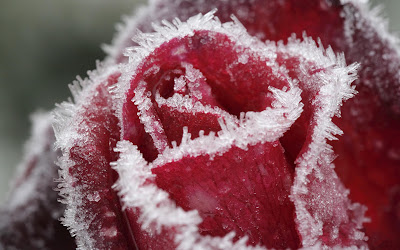 Beautiful red rose in winter wallpapers