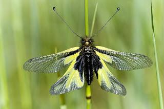 Para ampliar Libelloides coccajus hacer clic