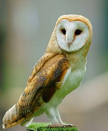 Barn Owl Pengendali Tikus