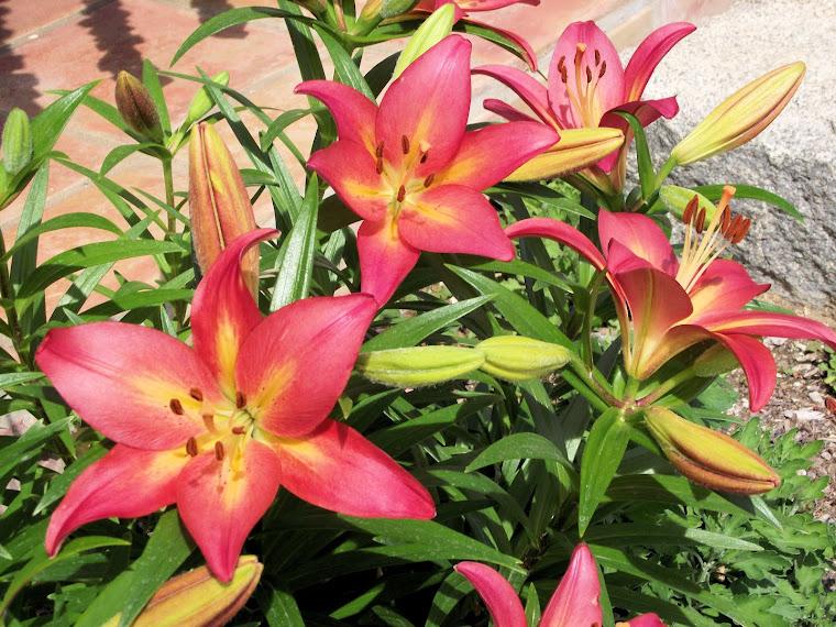Asiatic Desert Lilies