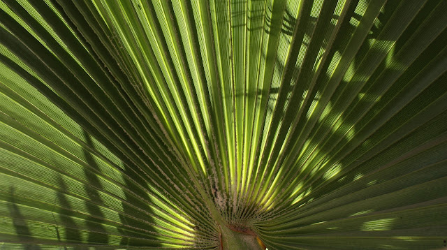Op Art Palm, Photograph, Sarah Myers, S. Myers, plant, leaves, symmetry, pattern, design, art, Deco, abstract, bright, green, fan