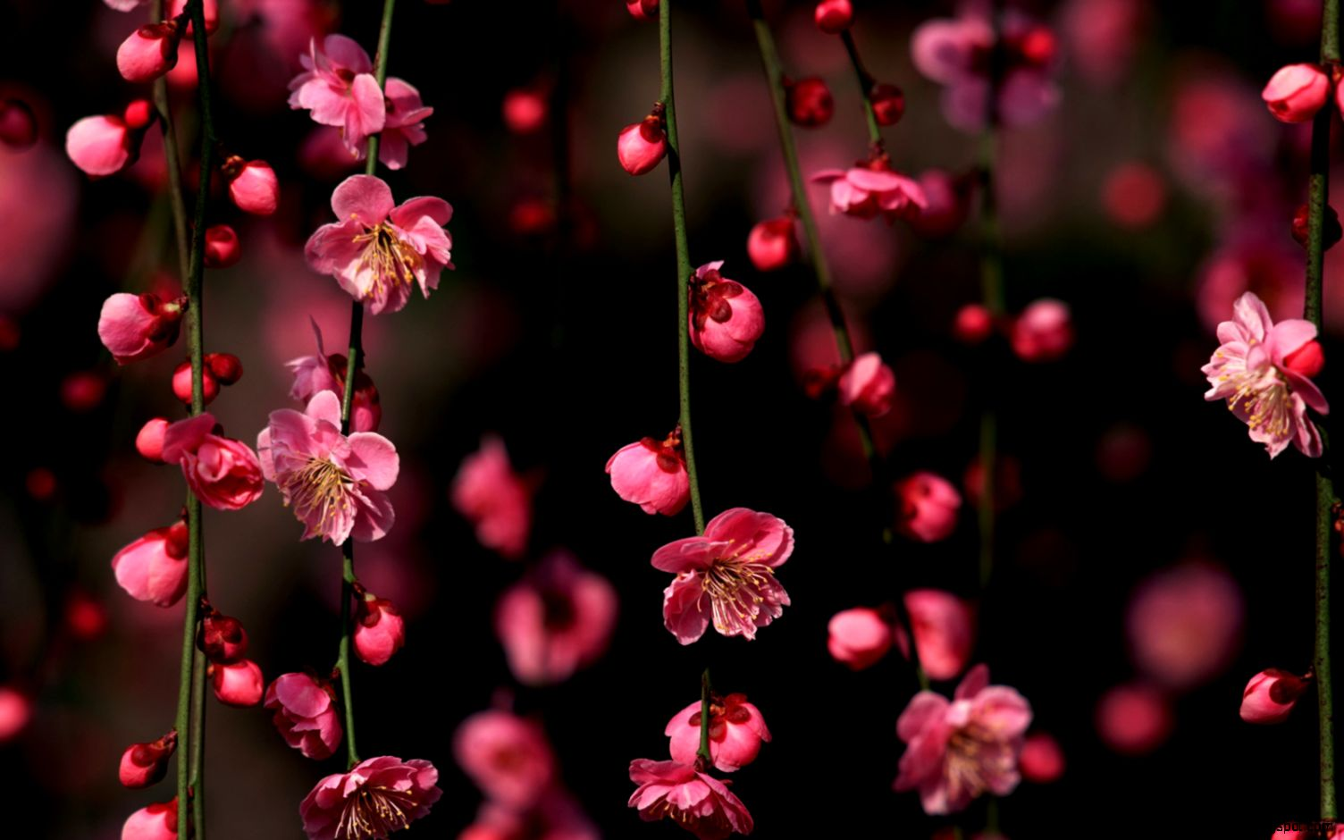 6872739 cherry blossom