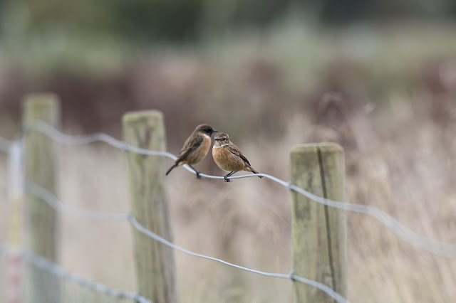 Female and Male Stonechat - Manor Farm, Milton Keynes