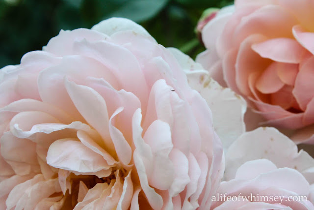 pale peach ruffled rose