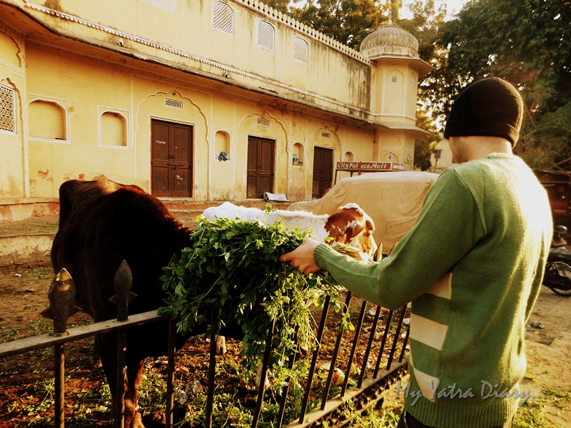 A young boy feeding Gau Mata, Hindu culture
