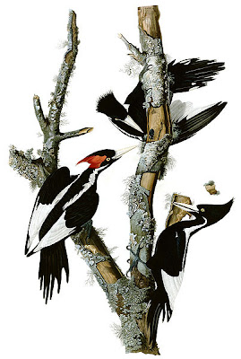 Ivory-Billed Woodpecker by Audubon