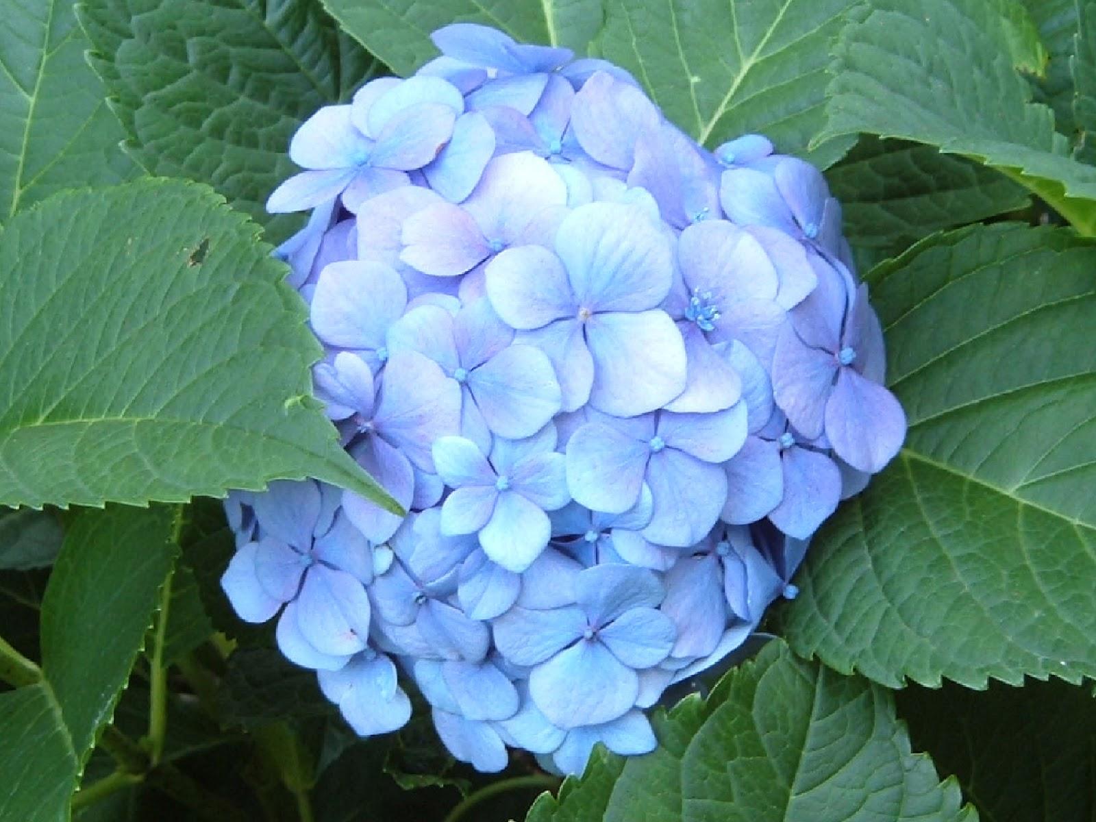 Fotos de flores las flores de la hortensia for Plantas decorativas con sus nombres