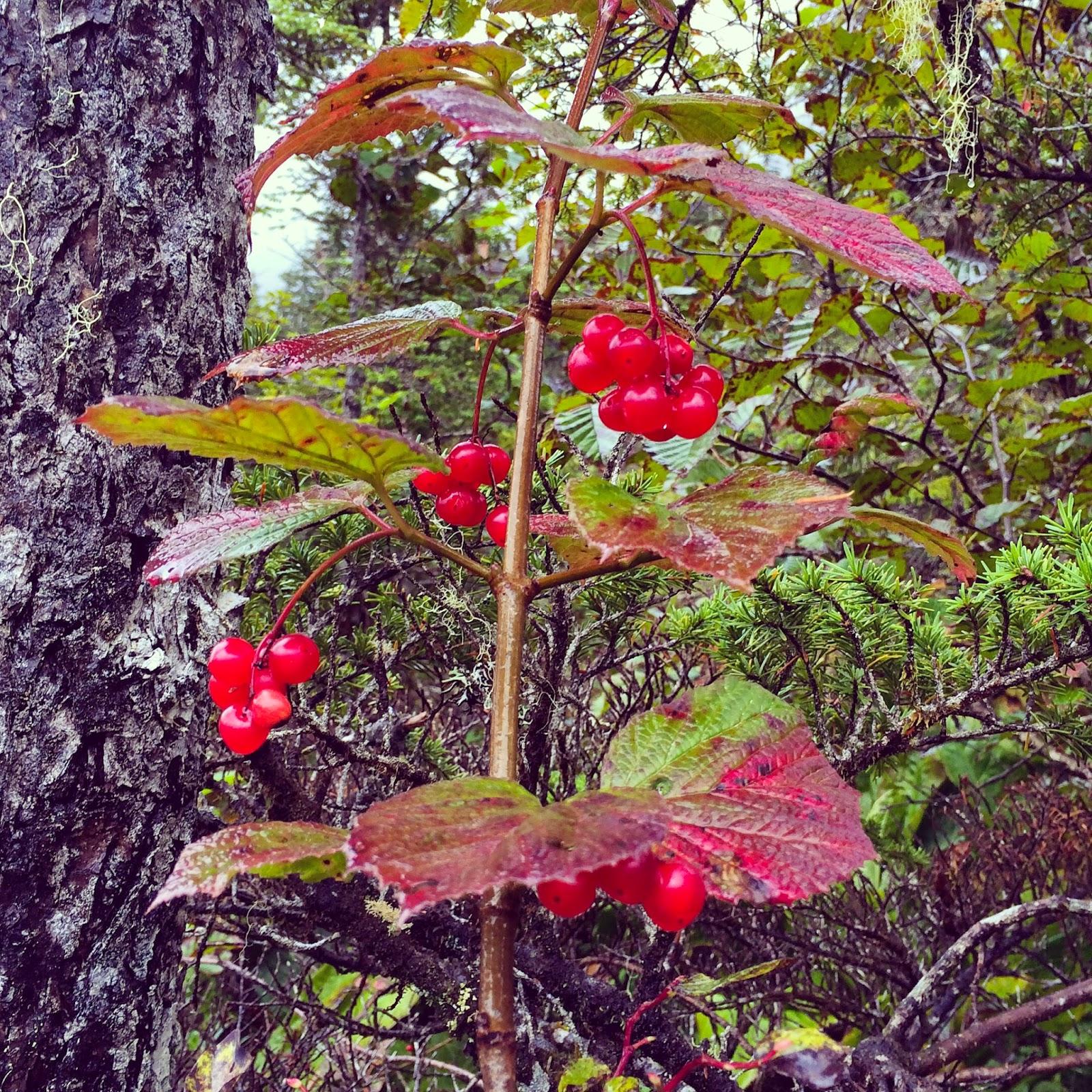 Highbush Cranberries