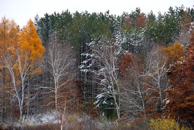 tamaracks turned, poplar bared, oaks browned