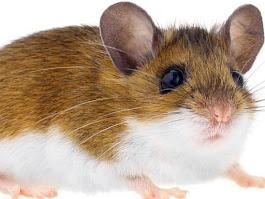 Deer Mouse – Peromyscus maniculatus