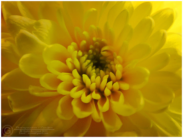 Photograph Yellow Flower