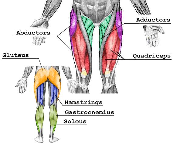 suppversity emg series - gluteus maximus, quadriceps femoris, Muscles