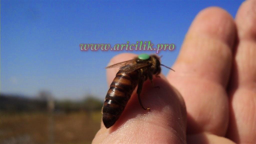 larva transferi, ana ari nasil üretilir