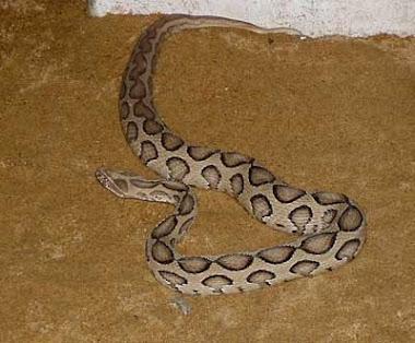 Russell's Viper (Daboia russelii)