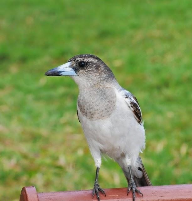 Pied Butcherbird, immature 095