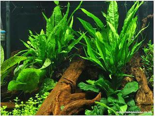gambar-Microsorum-Pteropus-Java-Fern-tanaman aquascape-fern-pakis