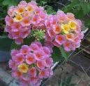 Bunga Lantana