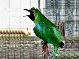 cucak hijau