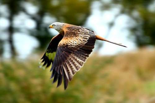Indian birds - Image of Red kite - Milvus milvus