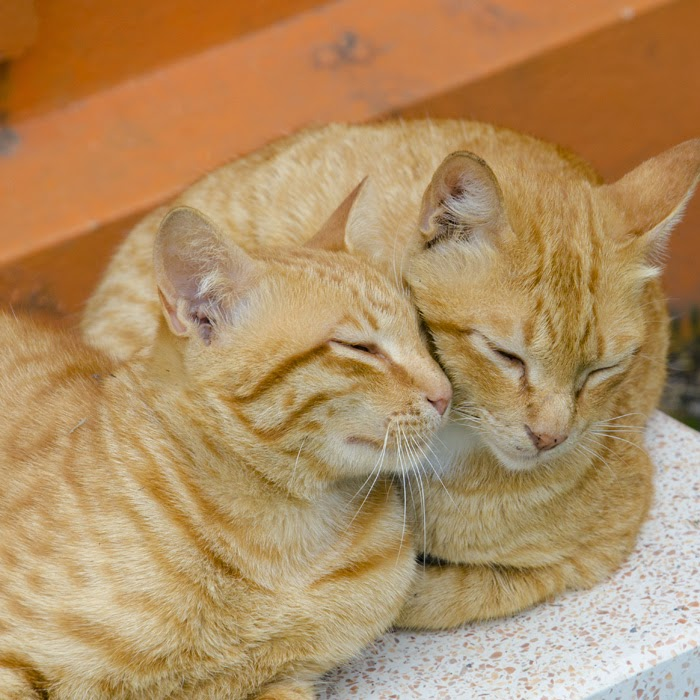 Two ginger cats rubbing heads and cuddled up