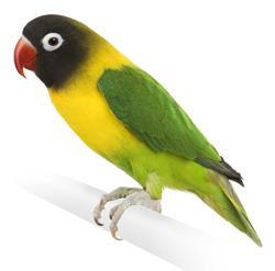 Lovebird sepasang