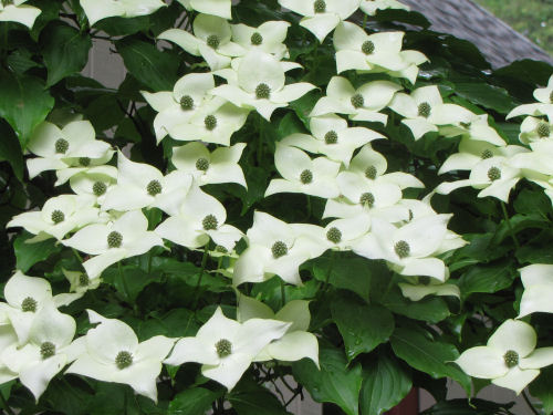 kousa dogwood