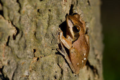 A photograph of a Common Indian Tree Frog taken in Anuradhapura, Sri Lanka
